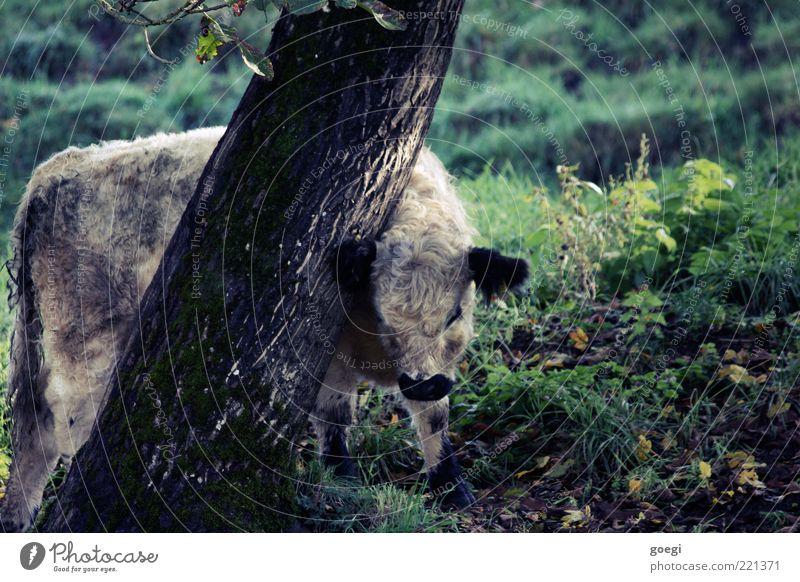 Kratzbaum Natur Baum Pflanze Sommer Tier Wiese Herbst Gras Landschaft Umwelt natürlich Fell Hügel niedlich Kuh Weide