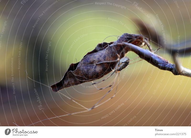 anhänglicher Weberknecht Natur Pflanze Blatt Tier Herbst Wandel & Veränderung dünn festhalten verstecken hängen Spinne Zweig Umarmen krabbeln hocken Versteck