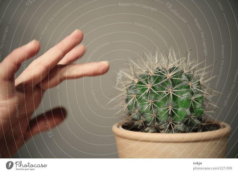 Berührungsängste Hand Finger Kaktus Topfpflanze exotisch Barrel Kaktus Stachel Grüner Daumen berühren bedrohlich natürlich Spitze stachelig wild grün achtsam