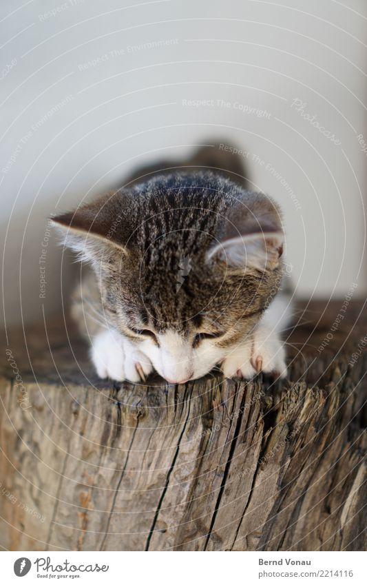 felix Tier Haustier Katze 1 Tierjunges niedlich braun Tigerfellmuster Krallen Baumstamm Ohr Fell sitzen beobachten Farbfoto Innenaufnahme Textfreiraum oben Tag