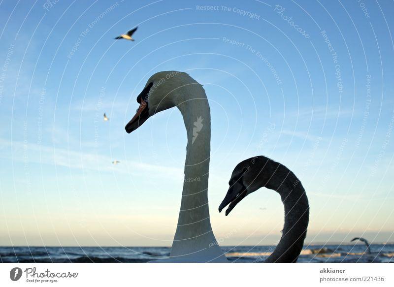 Smaltalk Umwelt Natur Tier Urelemente Wasser Wellen Küste Ostsee Meer Wildtier Vogel Schwan Tierpaar Tierjunges Tierfamilie hell nah nass natürlich schön