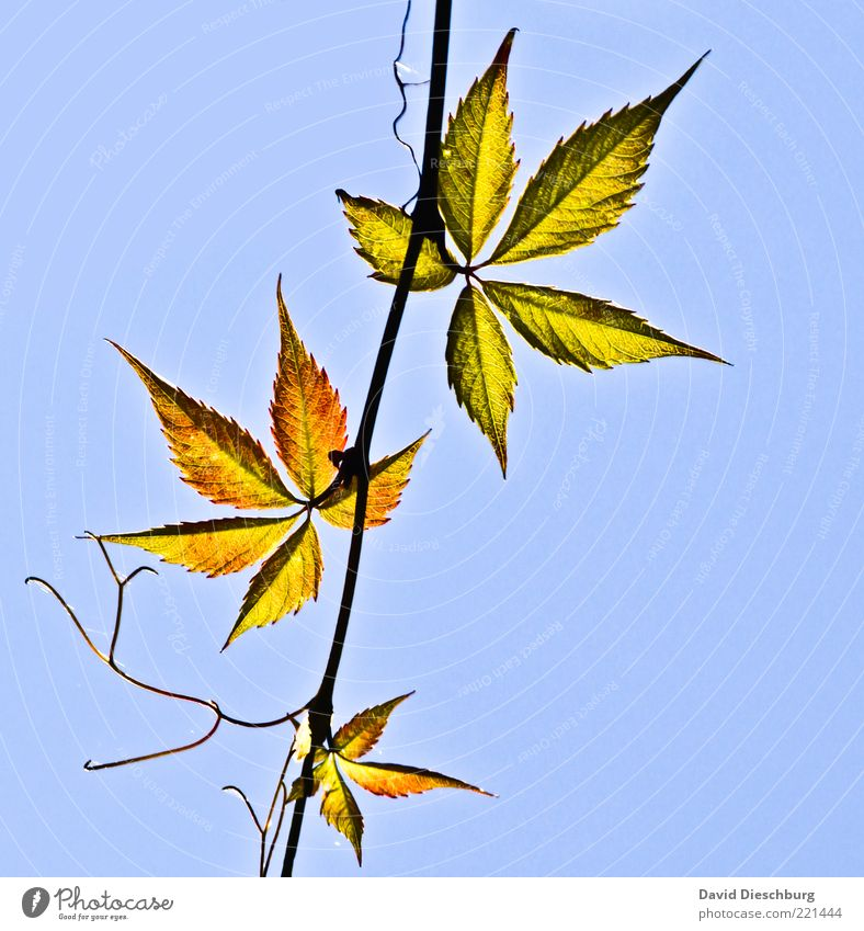 Family Leaf Natur Pflanze Wolkenloser Himmel Herbst Schönes Wetter Blatt Grünpflanze blau Ast herbstlich Hanf filigran 3 Verschiedenheit Farbfoto Außenaufnahme