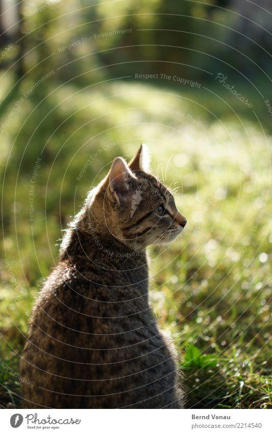 Gegenlichtmädchen Gras Garten Tier Haustier Katze 1 Tierjunges hell schön Sonne Tigerkatze Tigerfellmuster Blick Lichterscheinung Idylle sitzen braun grün