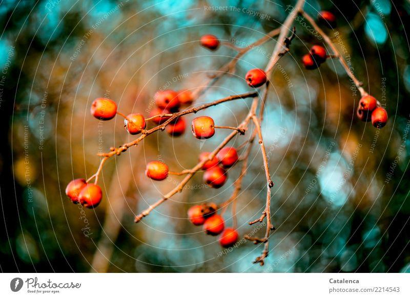 Bunt Natur Pflanze Himmel Herbst Schönes Wetter Zweig Beeren Weissdorn Weissdornbeere Garten Wald hängen dehydrieren ästhetisch schön braun orange türkis Umwelt