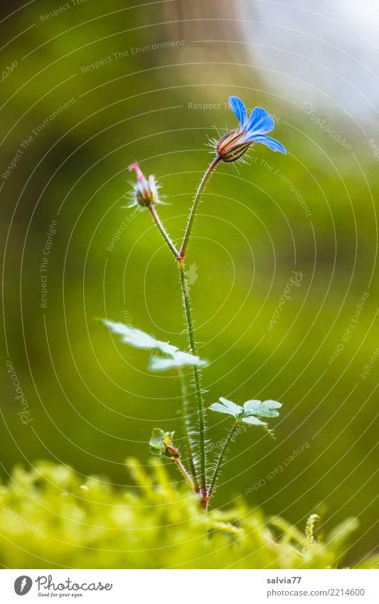 Blümelein zart und fein Natur Pflanze blau Sommer grün Blume Einsamkeit ruhig Wald Umwelt Blüte Glück Wachstum ästhetisch Blühend einzigartig