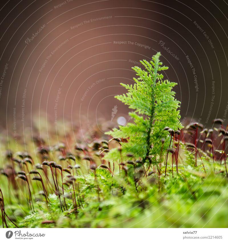 Moosbäumchen Natur Pflanze grün Einsamkeit ruhig Wald Umwelt Herbst natürlich klein grau braun Erde glänzend Wachstum Idylle