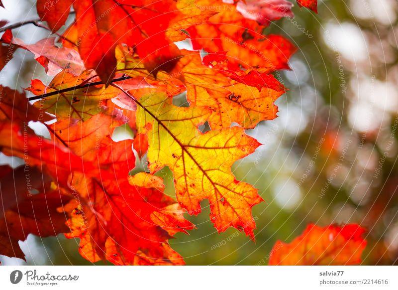 Roteichenblätterherbstfärbung Umwelt Natur Pflanze Herbst Baum Blatt Eiche Eichenblatt Park Wald leuchten ästhetisch schön Wärme gelb grün orange rot