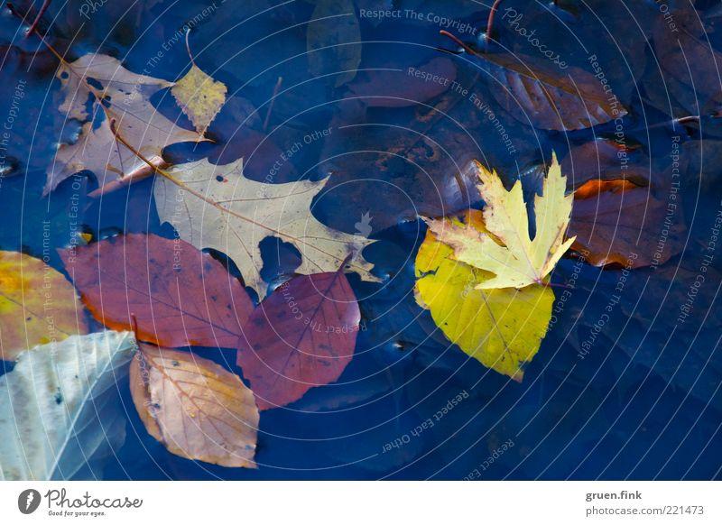 oberflächliche Herbstbetrachtung Natur Wasser blau Pflanze Blatt gelb braun ästhetisch nah Vergänglichkeit natürlich Sammlung Teich Oberfläche Herbstlaub