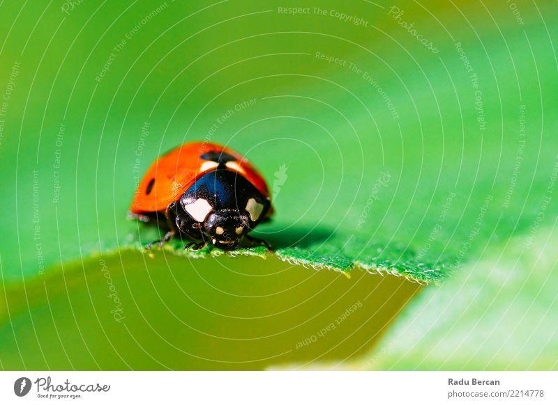 Natur Pflanze Sommer Farbe grün rot Tier Blatt schwarz Umwelt Garten niedlich einfach nah Insekt krabbeln