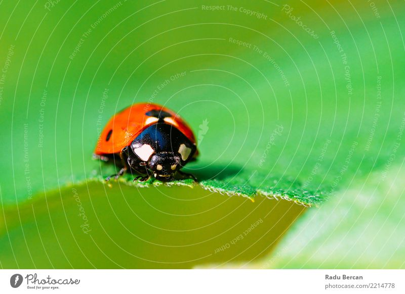 Rotes Marienkäfer-Insekt auf grünem Blatt-Makro Natur Pflanze Tier Sommer Garten 1 krabbeln einfach nah niedlich mehrfarbig rot schwarz Farbe Umwelt Wanze