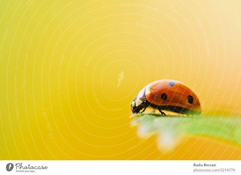 Rotes Marienkäfer-Insekt auf grünem Blatt-Makro Natur Pflanze Sommer Farbe schön rot Tier schwarz gelb Umwelt Garten orange Wildtier einfach