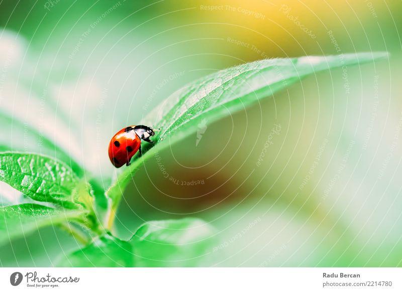 Rotes Marienkäfer-Insekt auf grünem Blatt-Makro Umwelt Natur Pflanze Tier Sommer Sträucher Garten Wildtier 1 einfach natürlich mehrfarbig rot schwarz Farbe