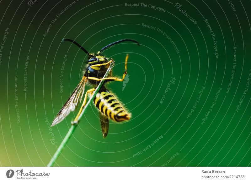 Europäische gemeine Wespe (Vespula Vulgaris) auf Stock Natur Pflanze Sommer Farbe grün Tier schwarz gelb Umwelt klein Garten Wildtier festhalten Insekt Biene