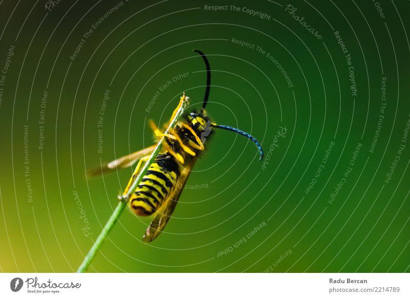 Europäische gemeine Wespe (Vespula Vulgaris) auf Stock Umwelt Natur Pflanze Tier Sommer Garten Wildtier Biene 1 festhalten hängen klein mehrfarbig gelb grün