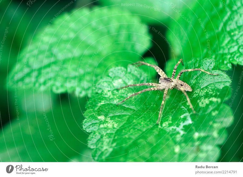 Kinderzimmer Netzspinne sitzend auf grünem Blatt im Garten Umwelt Natur Pflanze Tier Sommer Sträucher Grünpflanze Wildtier Spinne 1 beobachten entdecken