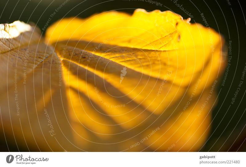 blattgold Blatt gelb Herbst hell leuchten Blattadern Fächer Sonnenstrahlen durchscheinend