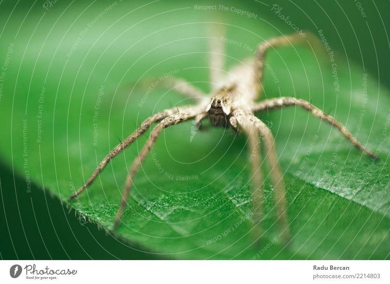 Baumschulnetzspinne, die auf grünem Blatt im Garten sitzt Umwelt Natur Pflanze Tier Sommer Sträucher Grünpflanze Wildtier Spinne Tiergesicht 1 entdecken