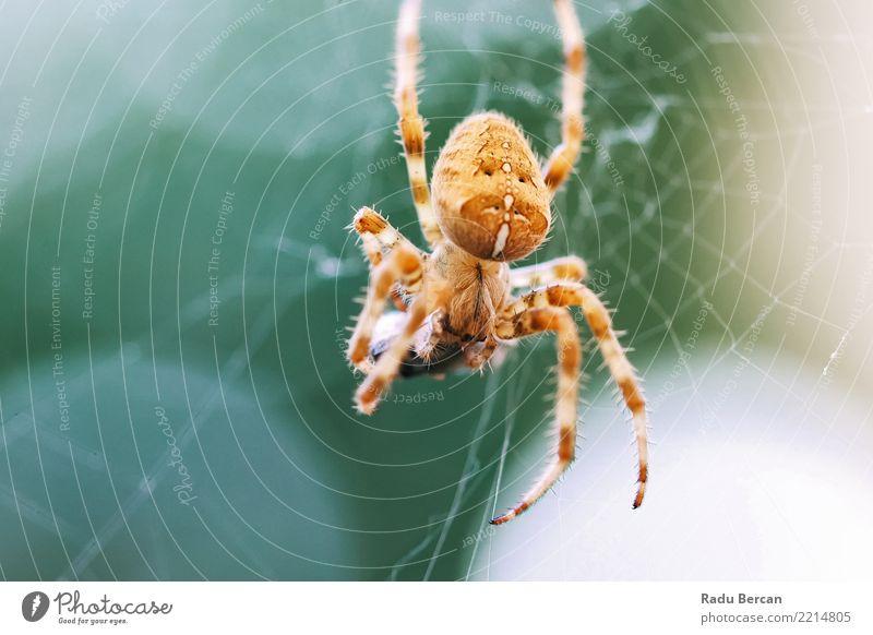 Europäische Kreuzspinne (Araneus Diadematus) über webfressende Beute Umwelt Natur Tier Sommer Schönes Wetter Garten Wildtier Spinne Tiergesicht 1 Essen Fressen