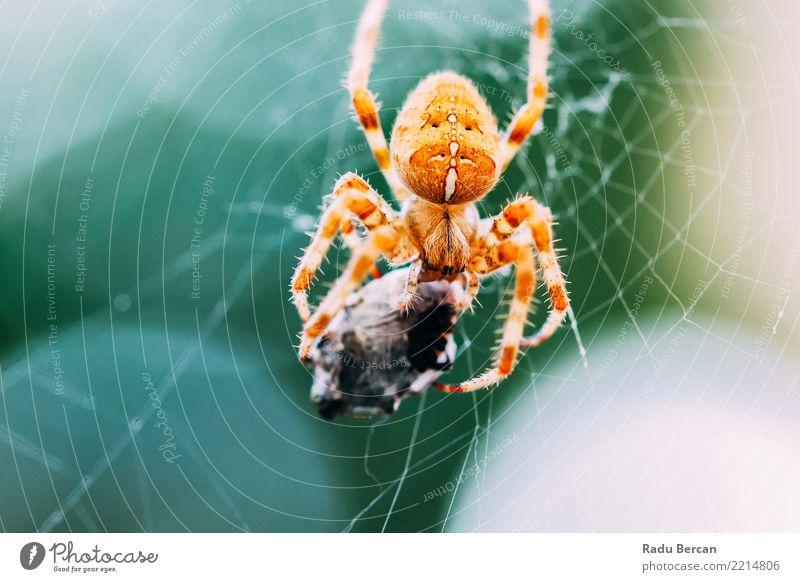 Europäische Kreuzspinne (Araneus Diadematus) über webfressende Beute Umwelt Natur Tier Wildtier Spinne Tiergesicht 1 2 Essen Fressen füttern Aggression