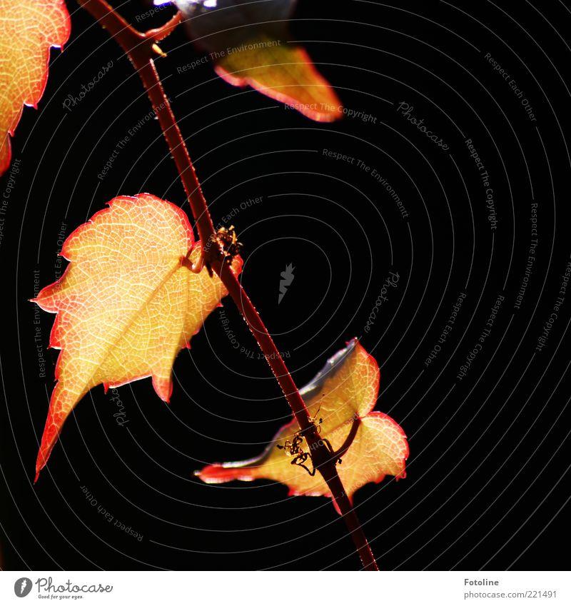 Weinleuchten Umwelt Natur Pflanze Herbst Blatt hell natürlich rot gold Farbfoto mehrfarbig Außenaufnahme Nahaufnahme Menschenleer Textfreiraum rechts Tag