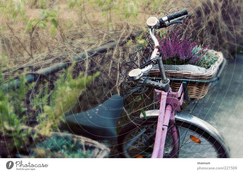 pink bike (LT Ulm 14.11.10) Herbst Pflanze Blume Heidekrautgewächse Verkehrsmittel Fahrrad Fahrradlenker stehen alt retro rosa Mobilität Nostalgie parken Korb