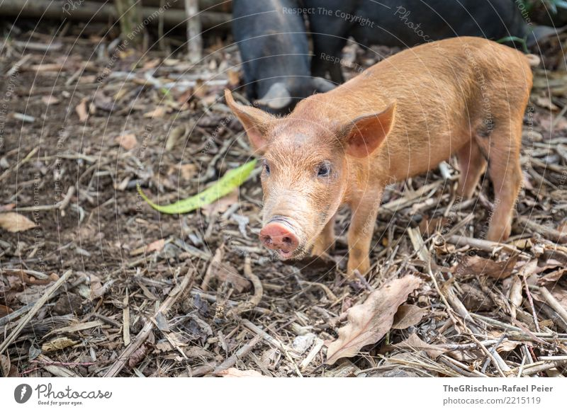 Schwein Tier Nutztier 1 braun schwarz schön Ferkel Lebewesen Nasenloch Ohr Neugier niedlich Borsten Holz Farbfoto Außenaufnahme Menschenleer Textfreiraum unten