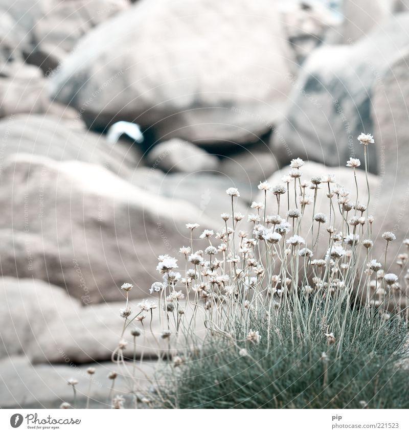 grasfleck Natur weiß Blume Pflanze Blüte Gras Felsen mehrere Kräuter & Gewürze Stengel trocken Halm vertrocknet karg steinig