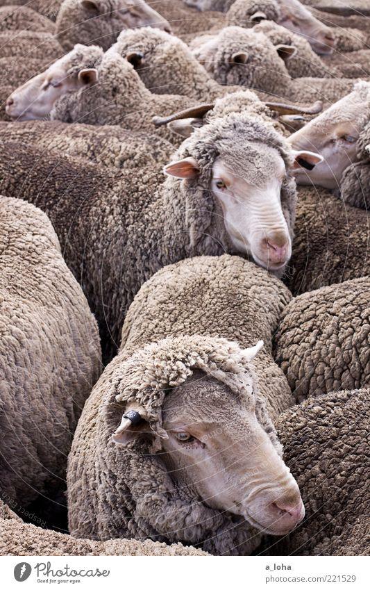 happy zwei jahre pippo pischare Tier Nutztier Fell Schaf Tiergruppe Herde beobachten berühren Bewegung Blick warten dreckig Zusammensein natürlich Wärme