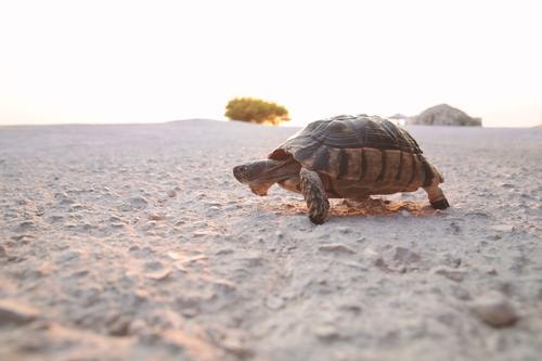 Turtle on the run Strand Natur Erde Tier Wildtier Schuppen 1 Bewegung laufen alt Coolness Tierliebe Gelassenheit geduldig Trägheit bequem Senior Reptil langsam