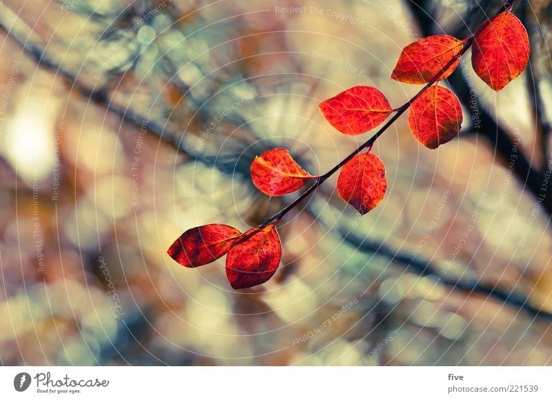 rote blätter Natur Pflanze Herbst Sträucher Blatt Grünpflanze Stimmung Ast Farbfoto Außenaufnahme Nahaufnahme Detailaufnahme Licht Sonnenlicht Unschärfe