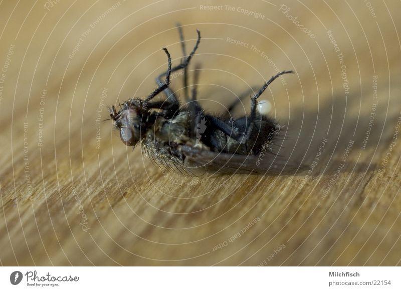High Noon Insekt Fliege Tod Makroaufnahme Untier lästig Ende