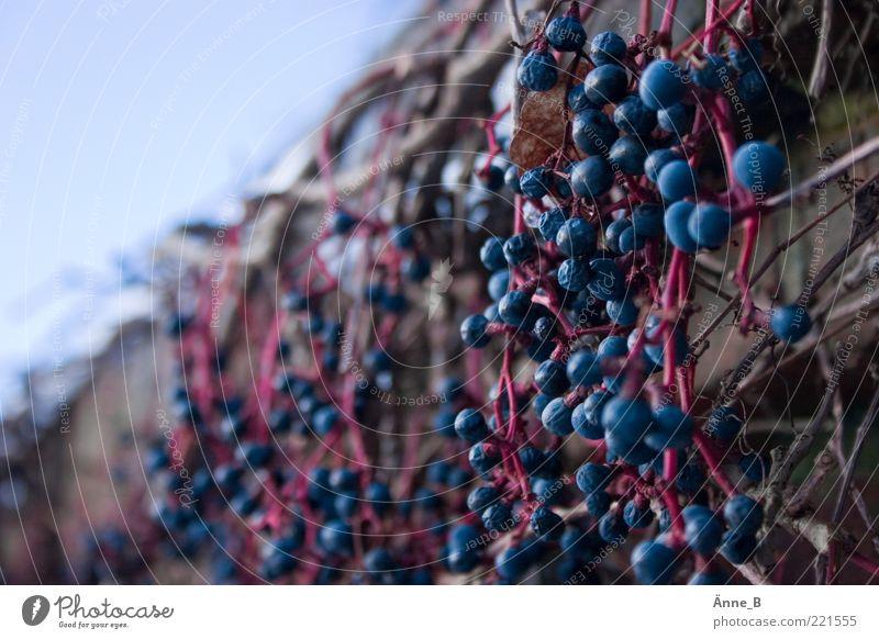 Selbstkletternd Natur Herbst Winter Pflanze Wildpflanze Wein Jungfernrebe Wilder Wein Mauer Wand Fassade dehydrieren ästhetisch schön trocken blau rosa rot