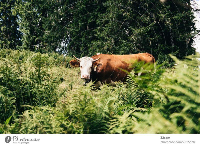 Kuh in den bayerischen Alpen wandern Umwelt Natur Landschaft Sommer Schönes Wetter Gras Sträucher Wald Berge u. Gebirge Nutztier Blick bedrohlich groß