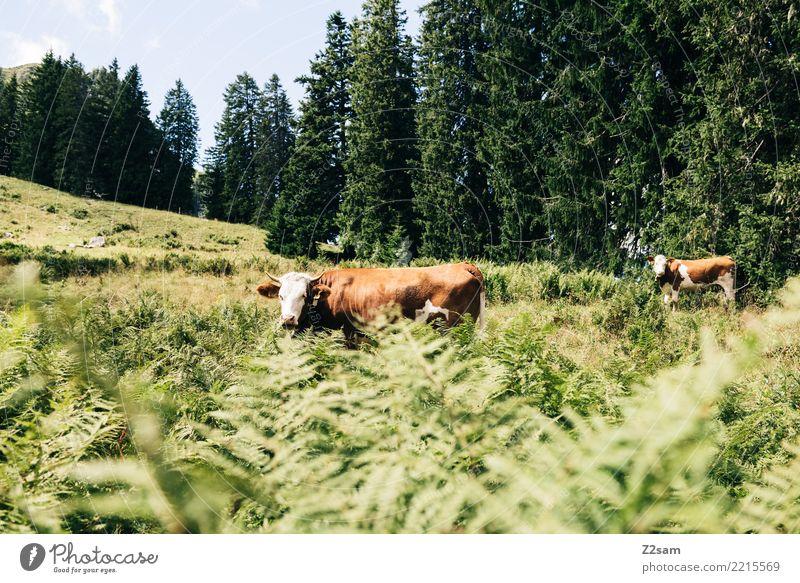 Kühe auf dem oberbayerischen Spitzingberg Natur Sommer grün Landschaft Tier ruhig Wald Berge u. Gebirge Umwelt natürlich Zusammensein braun Freizeit & Hobby