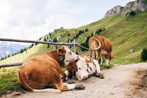 Kuhkuscheln Himmel Natur Sommer grün Landschaft Erholung Tier ruhig Berge u. Gebirge Umwelt Gefühle natürlich Glück braun Zusammensein liegen