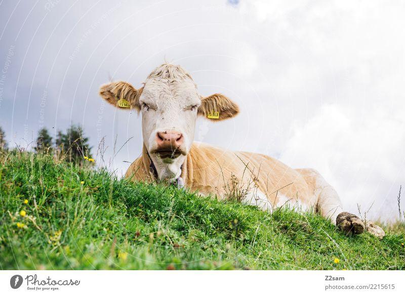 grantig wandern Umwelt Natur Landschaft Sommer Schönes Wetter Wiese Alpen Berge u. Gebirge Gipfel Kuh beobachten schlafen Aggression nachhaltig natürlich grün