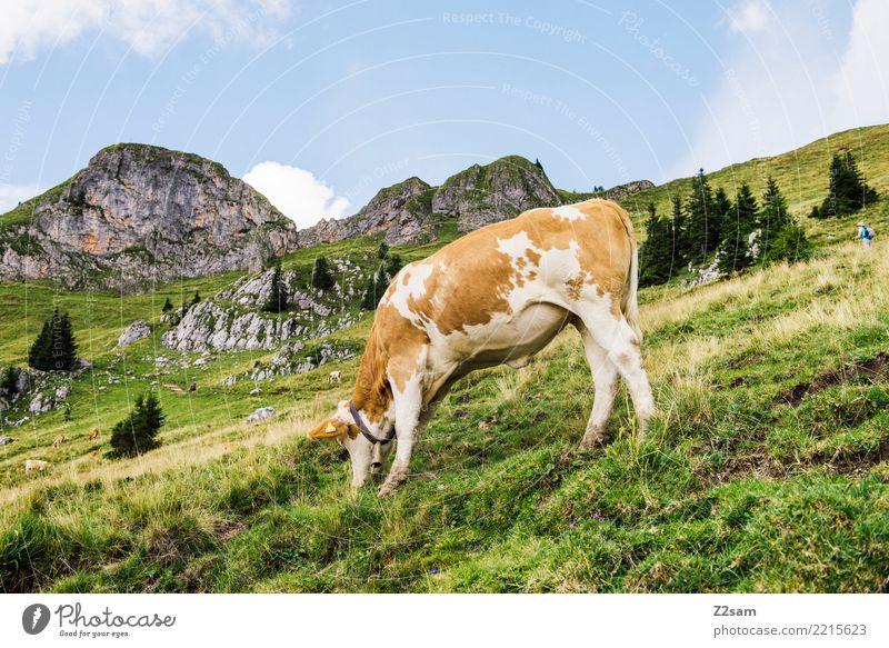 MUHHH!!! Berge u. Gebirge wandern Umwelt Natur Landschaft Himmel Sommer Schönes Wetter Wiese Alpen Kuh Fressen stehen Glück nachhaltig natürlich braun grün