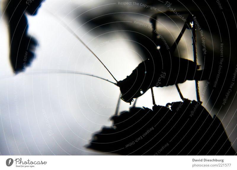 A bug's life Natur Wasser Wassertropfen Pflanze Blatt Tier Käfer 1 schwarz weiß Heuschrecke Tropfen nass natürlich Fühler Insekt glänzend silber Schwarzweißfoto