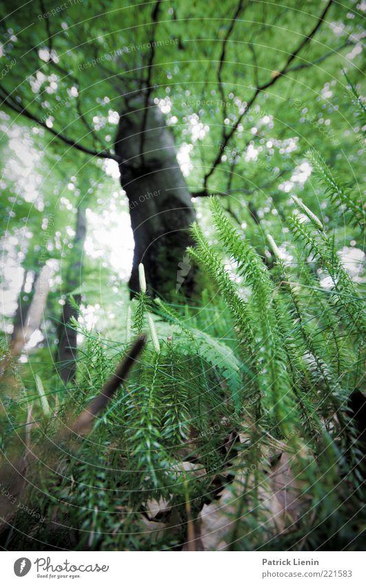 above us only trees Natur schön Baum Pflanze Sommer Blatt Wald oben Stimmung hell Umwelt groß Erde Wachstum beobachten Ast