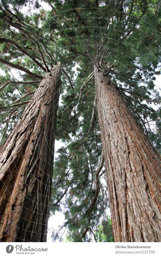 Überragend alt Baum Pflanze ruhig braun 2 Kraft groß hoch Wachstum nah dünn lang außergewöhnlich stark exotisch