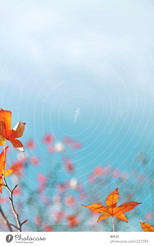 Unterwasser-Himmel Natur Pflanze Wolken Herbst Baum Blatt blau gold rot Wandel & Veränderung Herbstlaub herbstlich Herbstfärbung Herbsthimmel Ahorn Ahornblatt