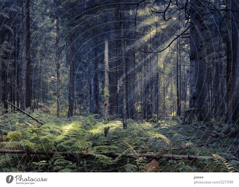Es war einmal … Natur Pflanze Baum Wald dunkel groß gruselig gelb grün ruhig Hoffnung Märchenwald mystisch Waldlichtung Efeu Farbfoto Gedeckte Farben