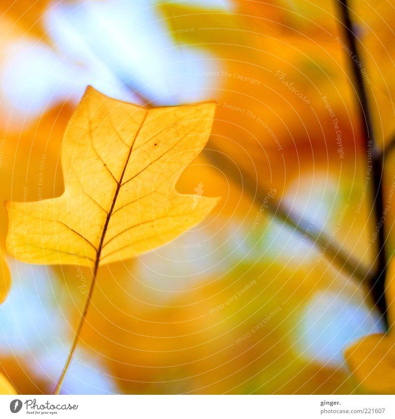 Bild für trübe Tage Umwelt Natur Pflanze Luft Himmel Herbst Klima Schönes Wetter Baum Blatt alt dehydrieren ästhetisch blau braun gelb gold Tulpenbaum hell