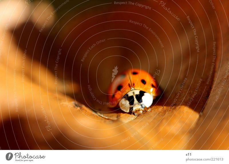 HerbstWärme Blatt Tier Herbst Wärme schlafen Jahreszeiten genießen Sonnenbad Käfer Marienkäfer Herbstlaub gepunktet Insekt Bewegungsunschärfe Glücksbringer