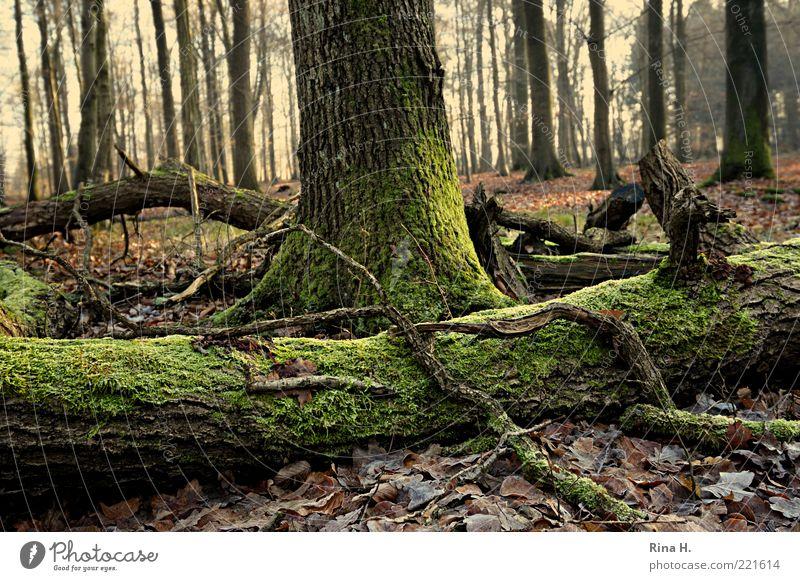 WinterWald Natur grün Winter ruhig Blatt Einsamkeit Wald Gefühle Holz Landschaft Wetter Umwelt Erde Perspektive Frost liegen