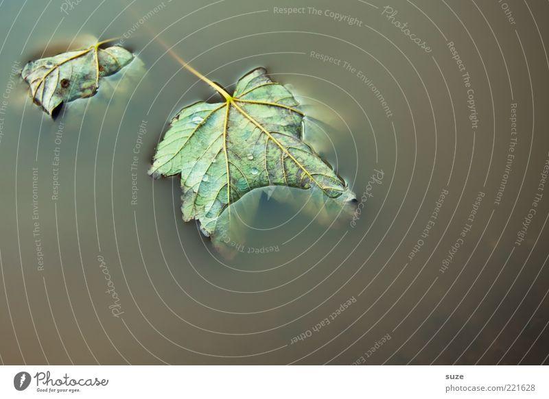 Ruhe Wasser Blatt dunkel Herbst nass trist liegen Stengel Pfütze trüb Blattadern Herbstlaub Ahorn Im Wasser treiben Wasseroberfläche Herbstbeginn