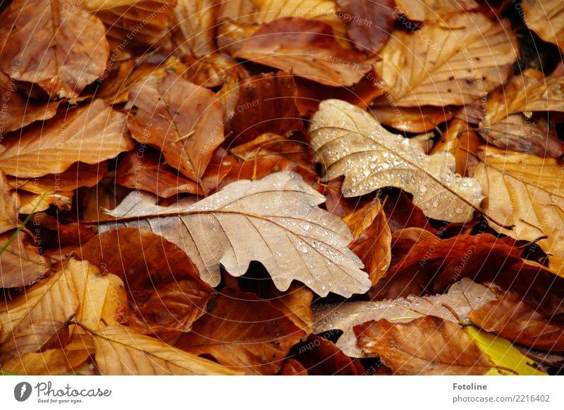 Vergänglich Natur Pflanze Blatt Wald Umwelt Herbst natürlich braun Erde nass Tropfen nah Herbstlaub Tau herbstlich Herbstfärbung