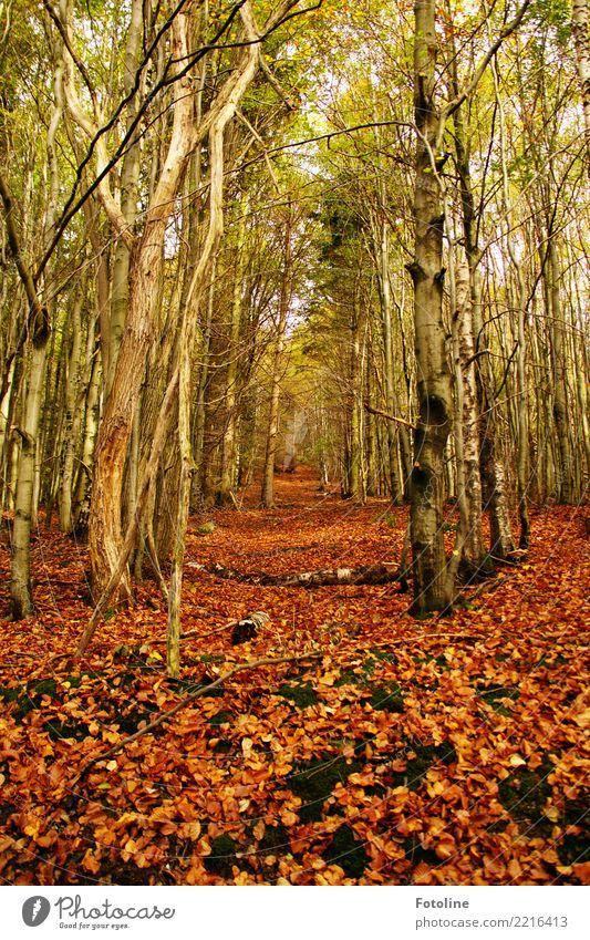 Rotblättchen Umwelt Natur Landschaft Pflanze Urelemente Erde Himmel Herbst Wetter Schönes Wetter Baum Moos Blatt hell natürlich Wärme braun grün rot rotbraun