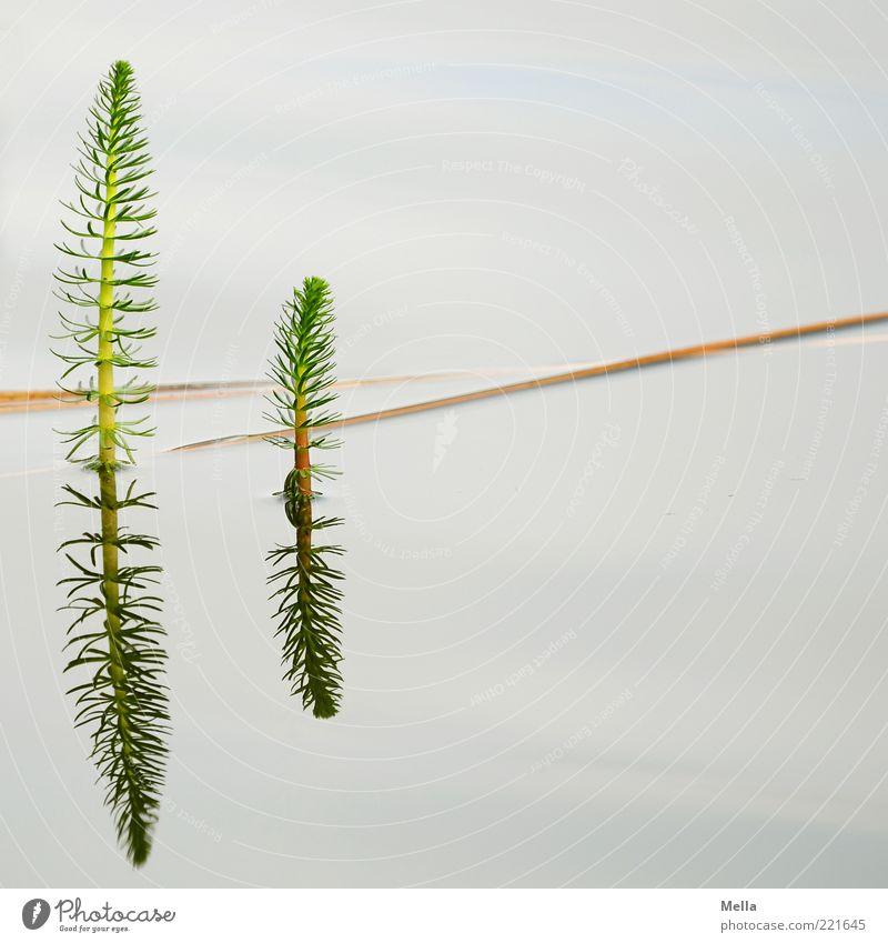 Spiegelei Umwelt Natur Pflanze Wasser Grünpflanze Wasserpflanze Halm Teich See Wachstum natürlich ruhig Im Wasser treiben Wasserspiegelung Zweig Pflanzenteile