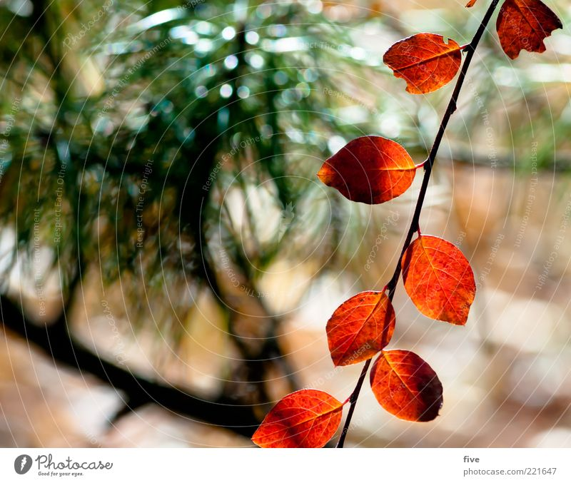 blattleine Umwelt Natur Pflanze Sonnenlicht Herbst Sträucher Blatt Grünpflanze rot Stimmung Farbfoto Außenaufnahme Nahaufnahme Detailaufnahme Tag Licht